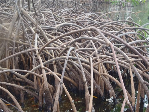 Mangrove prop roots - Panama