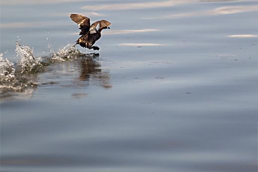 A wild duck swims around Lake Danao