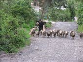 Sheep being herded past my hotel to the village of Agato: by sregevig, Views[1990]