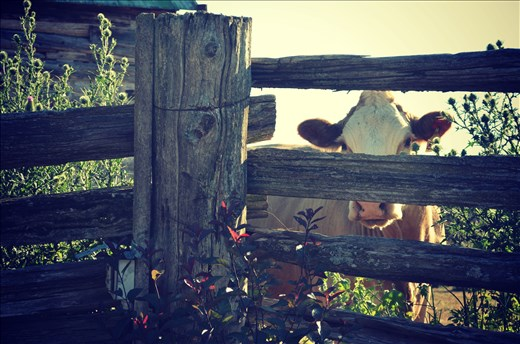 One of my cows at my farm play peek-a-boo