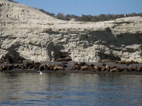 Seelöwen / Puerto Madryn