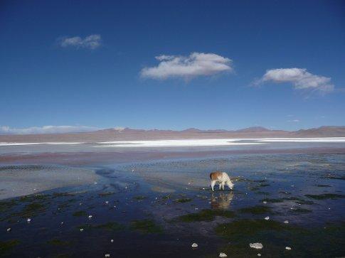 Laguna Colorada mit Lama
