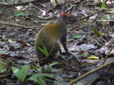 Kreuzung aus Ratte und einelaufenem Känguruh