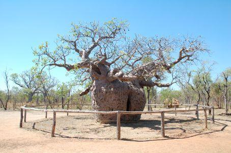 Boab Prison Tree in Derby