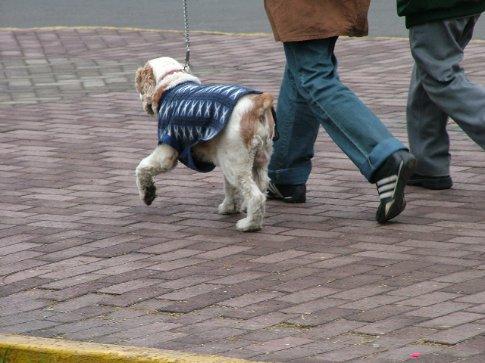 Dogs wear coats
