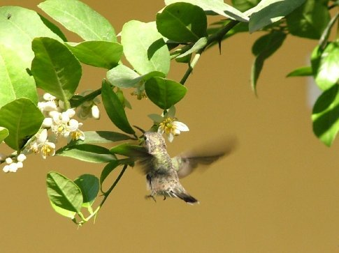 What a bout this for photographic skill (or luck)  A hummingbird, Huacachina