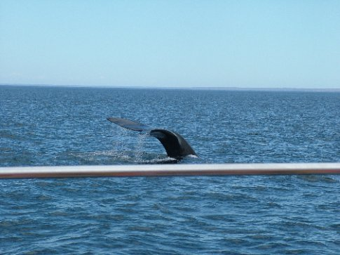One of two vaguely decent pictures of the whales.