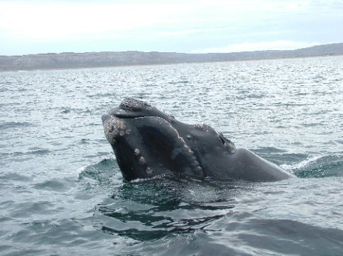 The second decent picture.  The whale came up a couple of metres from the boat.