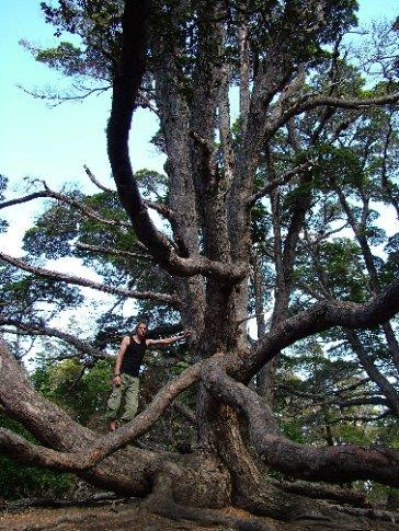 Dave in a strange tree.  Tierra del Fuego.