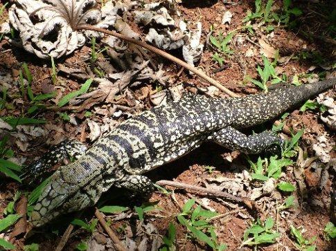 Big Lizard at Iguazu