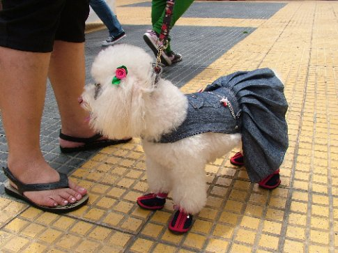 A pretty dog in Sao Paulo.  Sunglasses and shoes, what a well dressed biatch!