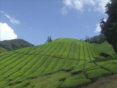 Sungai Palais tea plantation - but not a drop of coffee!