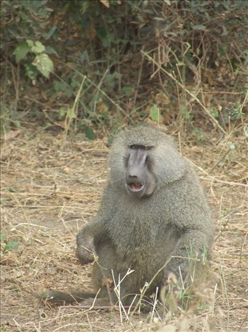 Baboons were all over the place.