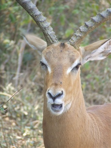 An impala, they are a majestic animal found all over the region.