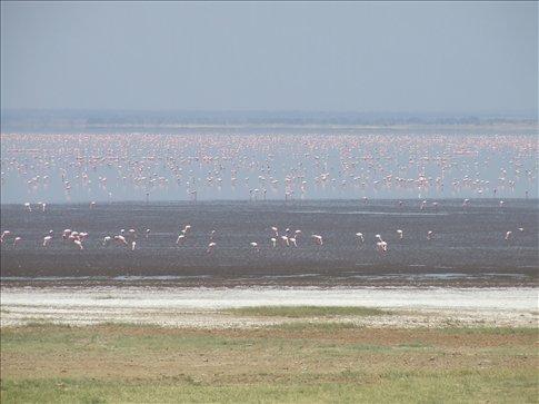 Lake Manyara with a huge flock of pink birds of some sort.