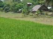 Langkawi has many lush padi fields.: by steve_and_emma, Views[409]