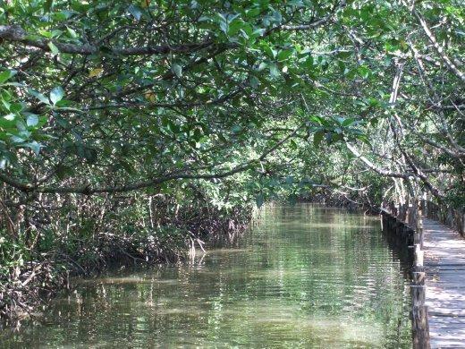 Mangrove boardwalk in Ream.