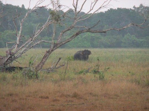 A lonely elephant who has survived the war in Wilpatu National Park.