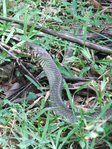 A rat snake near Sigiriya.