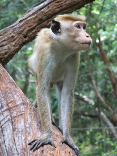 A Macaque monkey in the grounds of Sigiriya.