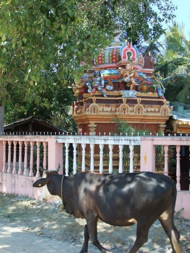 A sacred cow going to the sacred temple in Batticaloa.
