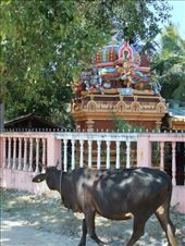 A sacred cow going to the sacred temple in Batticaloa.: by steve_and_emma, Views[516]