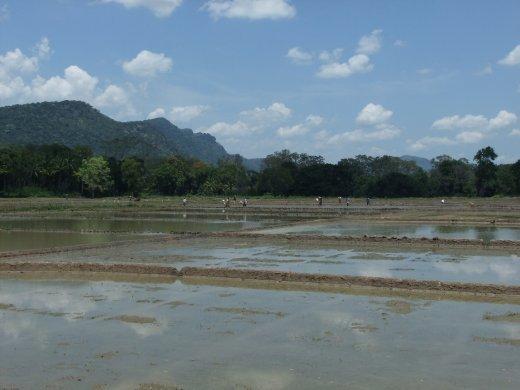 Paddy field near Maligawila.
