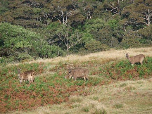 A herd of Sambar deer on Horton Plains.