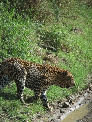 We were very lucky to get up close to a leopard.