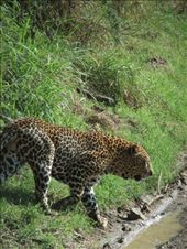 We were very lucky to get up close to a leopard.: by steve_and_emma, Views[168]