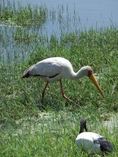 Plenty of bird life at Nakuru.
