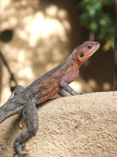 An agama lizard in the grounds of the lodge.