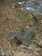 An Aussie monitor lizard or goanna as they call them.: by steve_and_emma, Views[666]