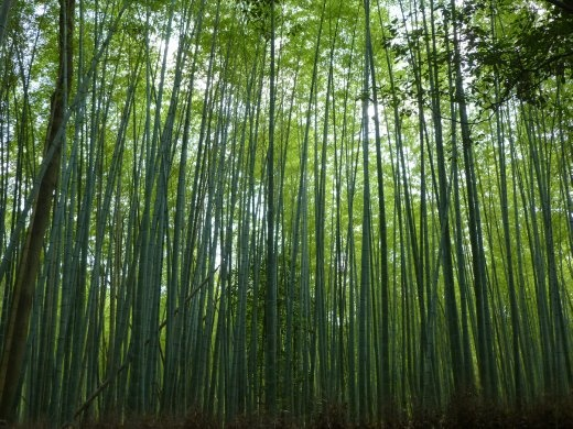 Going bamboo! Arashiyama Bamboo Grove is well worth the trip to the outskirts of Kyoto.