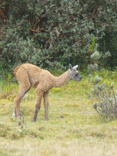 A baby llama, whatever they are called.