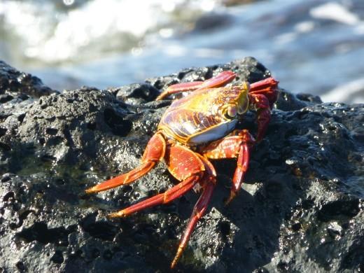 A Sally Light Foot crab.