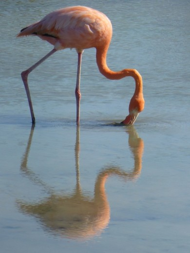 A greater flamingo.
