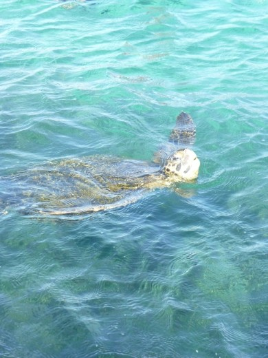 A green turtle.
