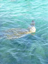 A green turtle.: by steve_and_emma, Views[211]