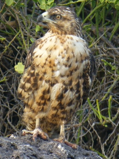 A Galapagos hawk.