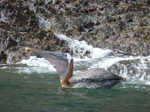 Breakfast for a pelican.
