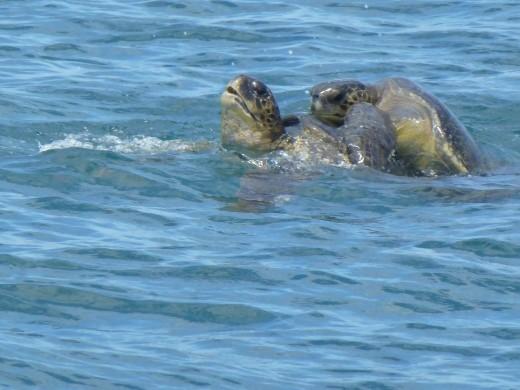 Mating turtles.