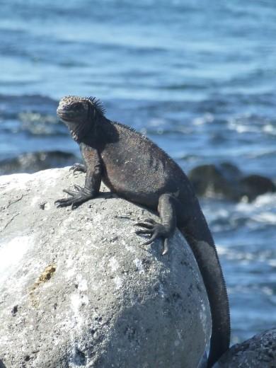 A marine iguana.