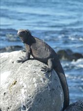 A marine iguana.: by steve_and_emma, Views[166]