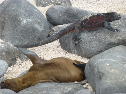 Sea lions and marine iguanas live side by side.