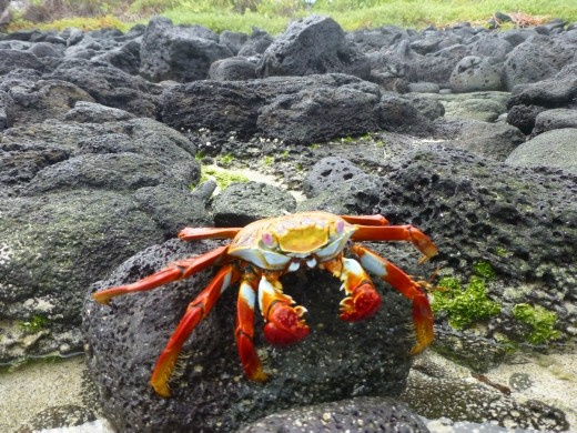 Not much wildlife left on Floreana due to human destruction but lots of crabs still.