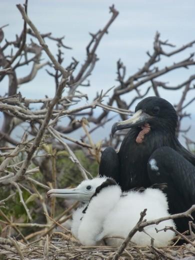 Frigate bird and chick.
