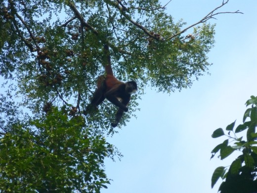 Spider Monkeys were hanging around the station.