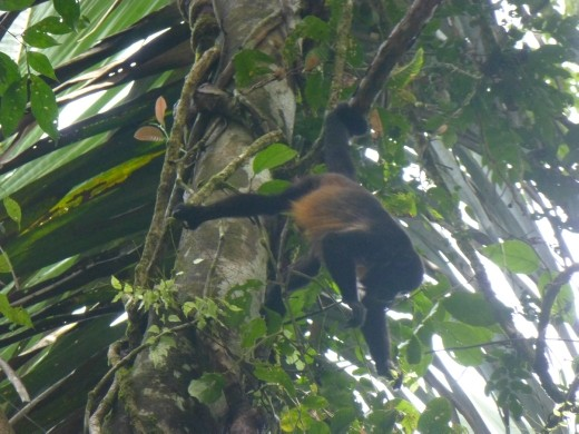 We got a good view of a troop of howler monkeys.