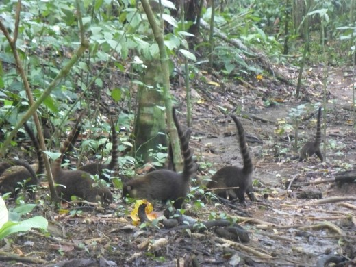 We were surrounded by a large group of coatis.